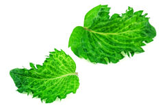 Green peppermint leaves Stock Images