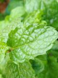 Green Peppermint Stock Photography