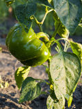 Green peppers Royalty Free Stock Photo