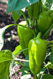 Green peppers growing in the garden. Green bell peppers growing in the garden Stock Photo