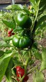 Green peppers. Green and red peppers in the garden Royalty Free Stock Images