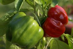 Green Peppers turning Red Stock Photos