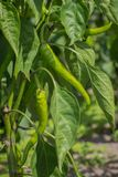 Green peppers. In the vegetable garden stock image