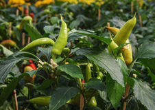 Green Peppers on the vine. Concept home garden. Bush peppers Royalty Free Stock Image