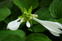Beautiful and chic white hosta flowers with large exotic leaves and inflorescences.