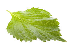 Green Perilla Leaf Isolated Stock Photography