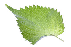 Green Perilla Leaf Isolated Royalty Free Stock Image