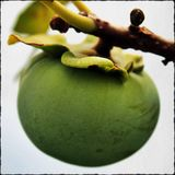 Green Persimmon Stock Photography