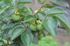 young persimmon tree Stock Photo