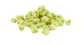 Green petals of fresh hop. Royalty Free Stock Images