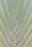 Green Petiole  pattern of Palm  Traveller's tree Stock Photography