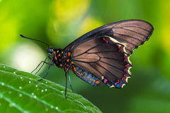 Green Phase. Tropical butterflies on the leaf. Macro photografie of wildlife Stock Image