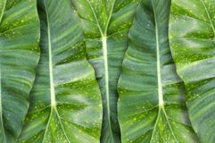 Green Philodendron leaves background Royalty Free Stock Photography