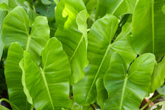 Green Philodendron leaves Royalty Free Stock Image
