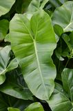 Green Philodendron leaves Royalty Free Stock Photos