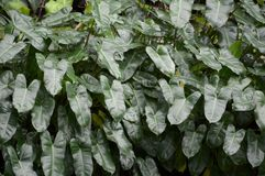 Green Philodendron leaves in garden Royalty Free Stock Image
