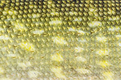 Green pike skin Royalty Free Stock Photography
