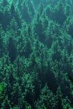 Green pine Stock Image