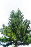 Green pine Royalty Free Stock Images