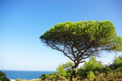 A green pine. Royalty Free Stock Images