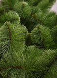 Green pine background . Green pine background without decoration Royalty Free Stock Photos