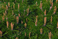 Green pine Royalty Free Stock Photography