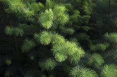 Green pine background. For use in presentations and graphics royalty free stock photo