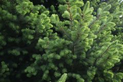 Green pine background. For use in presentations and graphics royalty free stock image