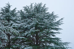 Green pine with big cones Royalty Free Stock Photography