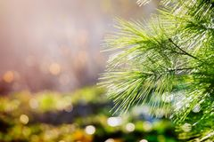 Green pine bough illuminated by sunlight. Christmas pine bough with blurred background Royalty Free Stock Photos