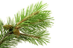 Green pine branch. Isolated on white background Royalty Free Stock Image