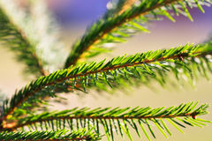 Green pine branch. At sunset Stock Photography