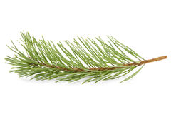 Green pine branch Royalty Free Stock Photography