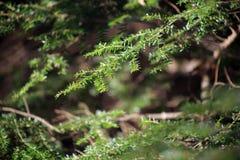 Green Pine Branch Stock Photo