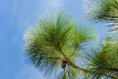 Green pine branch on a background of blue sky. Stock Photography