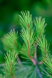 Green pine branch Royalty Free Stock Photos