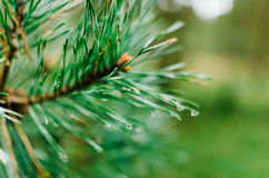 Green pine branch with blurry background Royalty Free Stock Photo