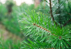 Green pine branch close-up Stock Photos