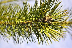 Pine branch, soft blurry background. Green pine branch close up macro detail, soft blurry background stock photography