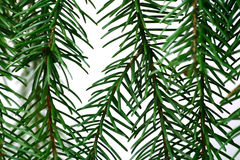 Green pine branch closeup Royalty Free Stock Images