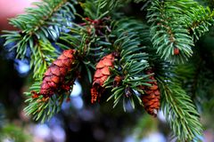 Green pine branch and pine cone Royalty Free Stock Photography