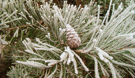 Green pine branch with cone. In the garden after frost Royalty Free Stock Photo