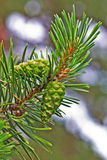 Green pine branch with cones Stock Photography