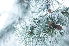 Green pine branch with cones. Pine branch with cones and frost Royalty Free Stock Photos