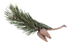 Green pine branch with cones on a white background, isolated Royalty Free Stock Photos
