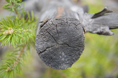 Green pine branch and cut tree. Royalty Free Stock Image