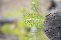 Green pine branch and cut tree. Stock Image