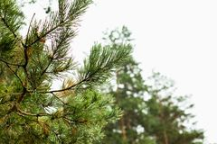 Green pine branch with dew drops Royalty Free Stock Photography
