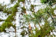 Green pine branch with dew drops Royalty Free Stock Image