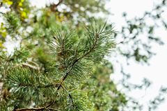 Green pine branch with dew drops Royalty Free Stock Photo